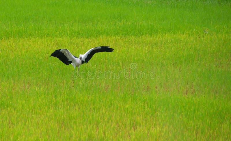 La cicogna di Openbill sta nelle risaie verdi immagine stock