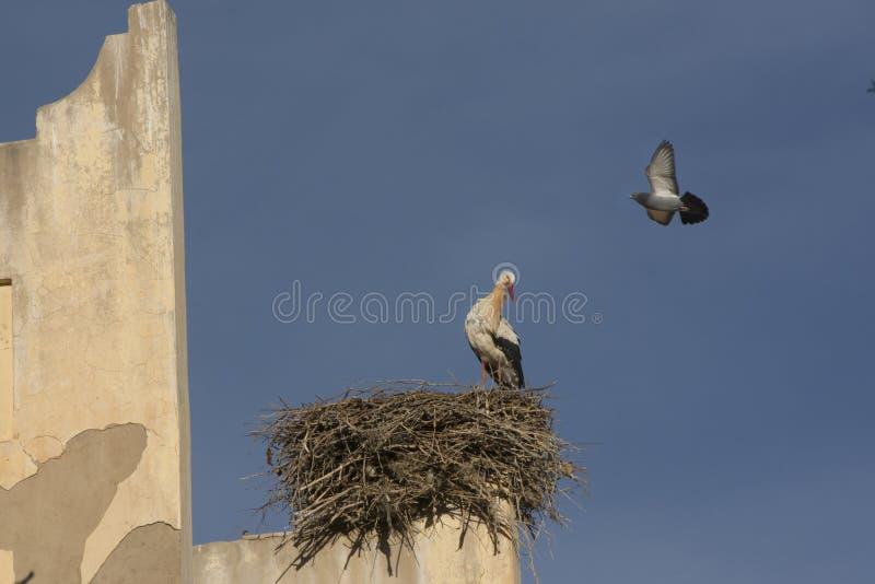 La cicogna ed il piccione fotografie stock