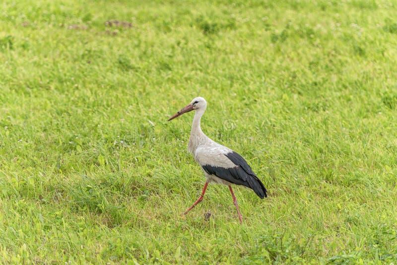 La cicogna sta camminando sull'erba nella zona rurale Becco sporco immagini stock