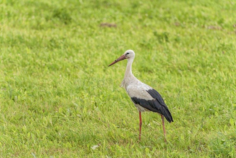 La cicogna sta camminando sull'erba nella zona rurale Becco sporco fotografie stock