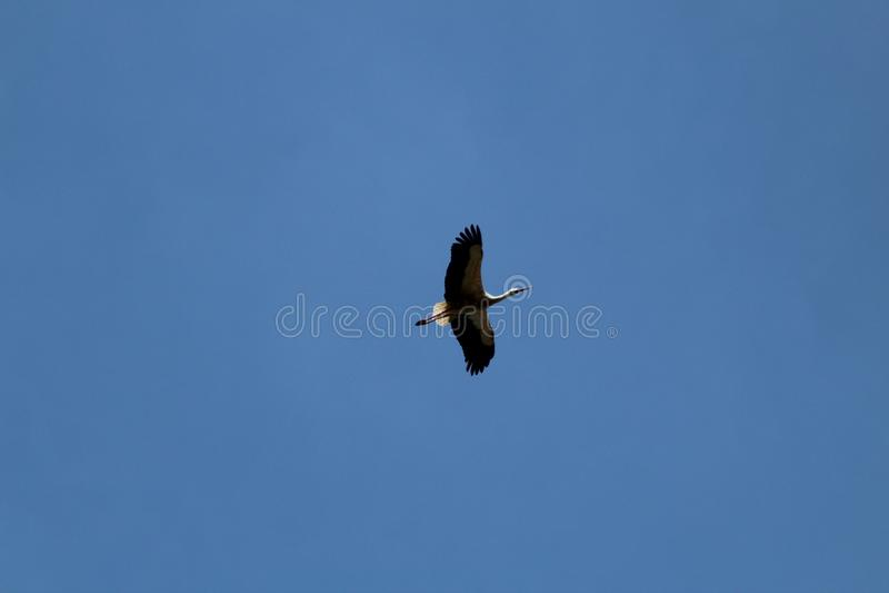 La cigüeña es un pájaro enorme: Las alas tienen un palmo gigante foto de archivo libre de regalías