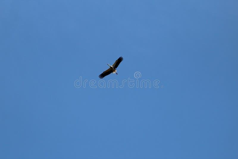 La cigüeña es un pájaro enorme: Las alas tienen un palmo gigante imagen de archivo
