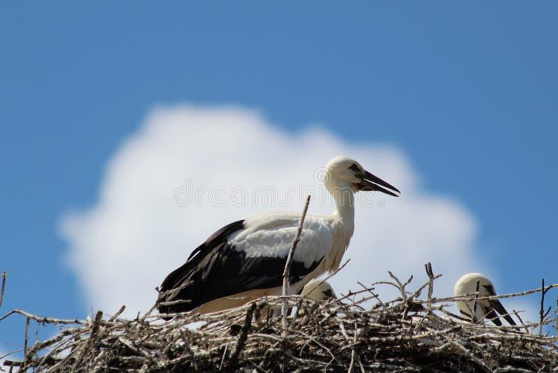 La cigüeña es un pájaro enorme: Las alas tienen un palmo gigante fotografía de archivo libre de regalías