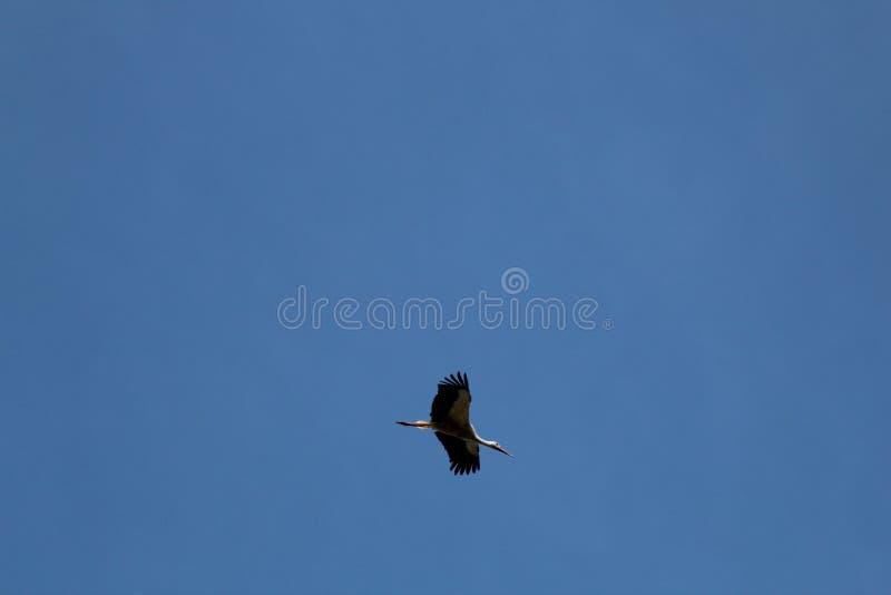 La cigüeña es un pájaro enorme: Las alas tienen un palmo gigante fotos de archivo
