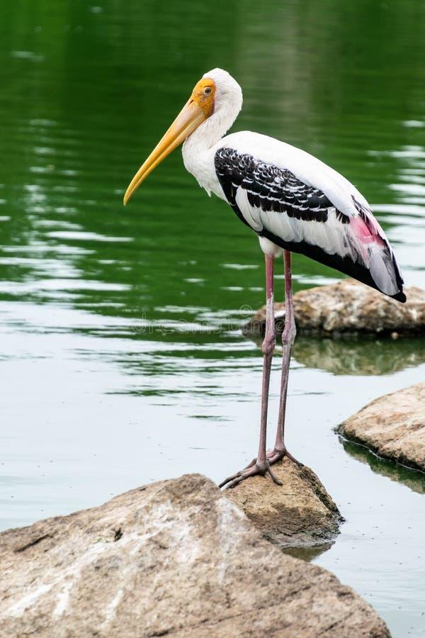 La cigüeña pintada blanco en el parque zoológico foto de archivo libre de regalías