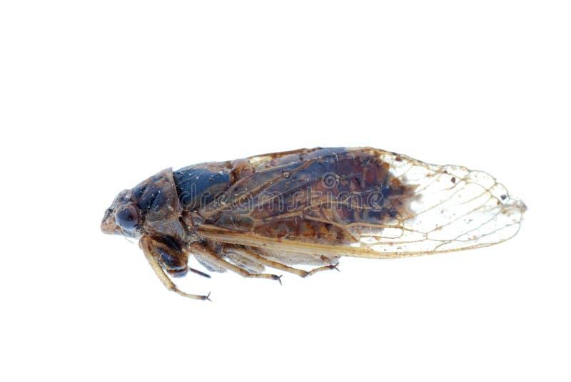 La cigale d'insecte a isolé image libre de droits