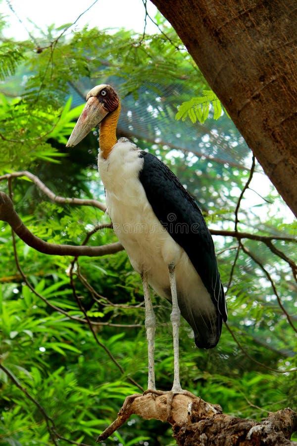 La cigogne d'adjudant se tient sur la branche d'arbre image libre de droits