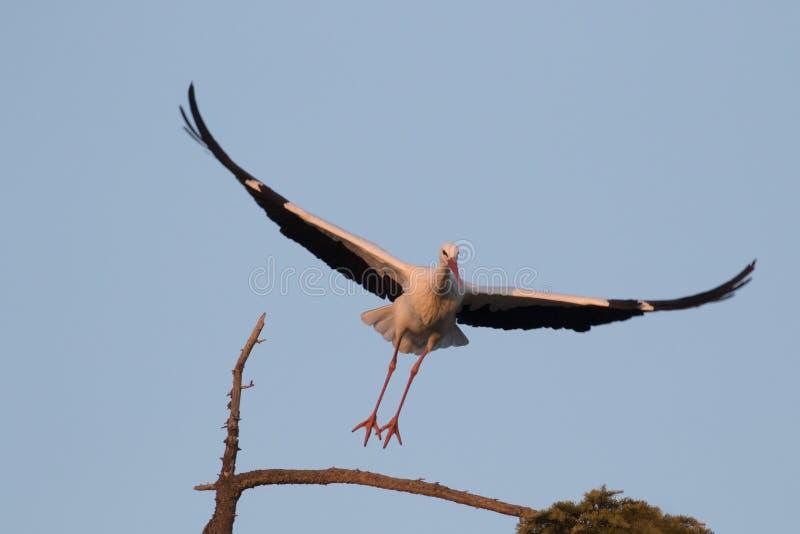 La cigogne sautant outre d'une branche image libre de droits