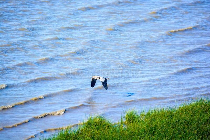La cigogne vole au-dessus de l'eau recherchant la nourriture photos libres de droits