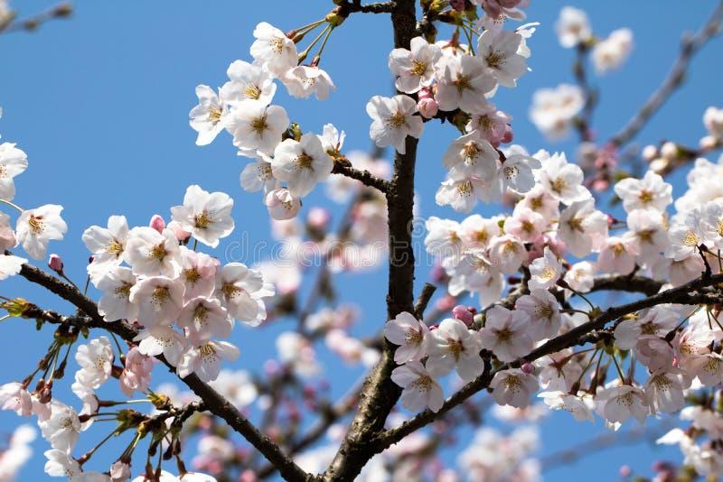 La ciliegia della primavera gradisce la neve immagine stock libera da diritti