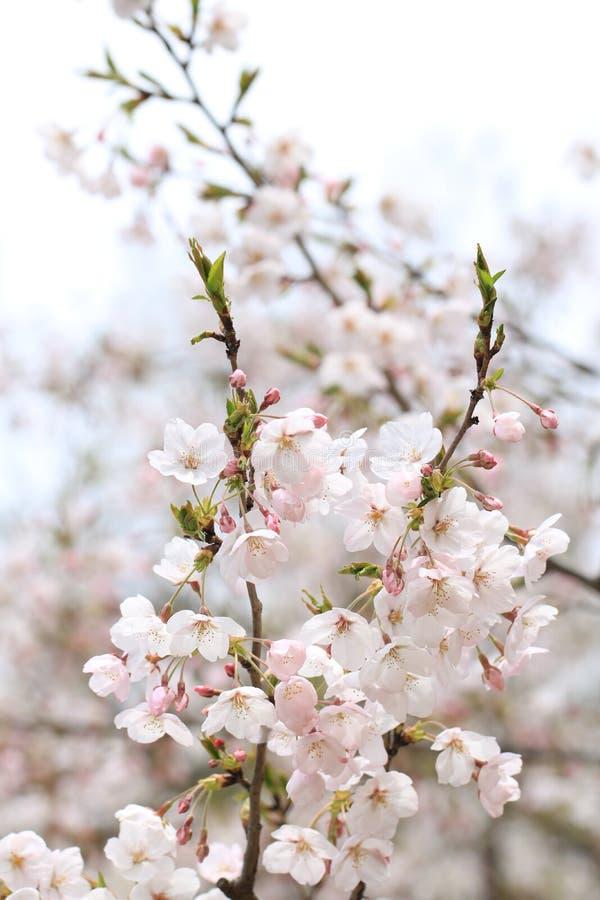 La ciliegia della primavera gradisce la neve immagine stock