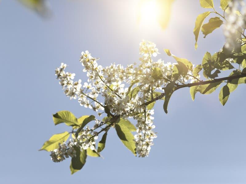 La ciliegia di uccello si ramifica con i fiori bianchi ad un fondo del cielo blu fotografia stock