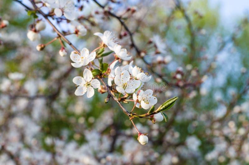 La ciliegia naturale del fiore fiorisce il ramo al tramonto immagini stock libere da diritti