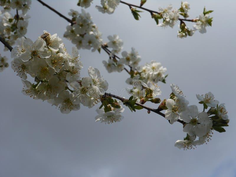 La ciliegia sbocciante immagini stock libere da diritti