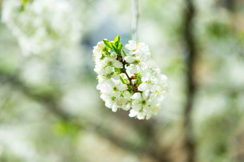 La ciliegia sbocciante si ramifica con i fiori bianchi su fondo vago fotografia stock libera da diritti