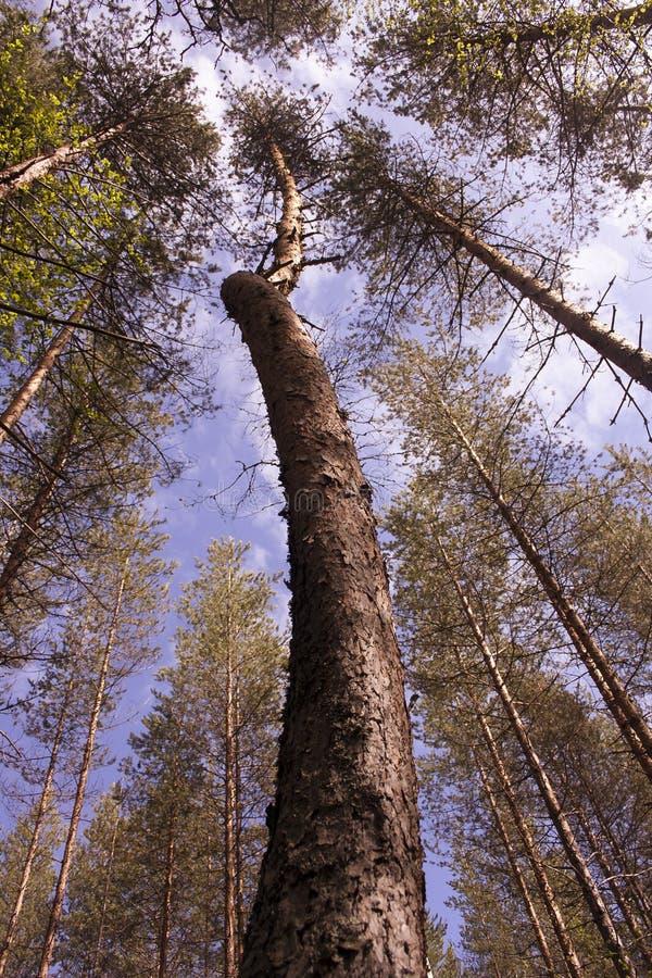 La cima dell'albero nella prospettiva fotografia stock libera da diritti