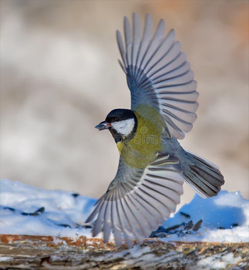 La cinciallegra decolla dall'alimentatore con le ali completamente allungate fotografie stock libere da diritti