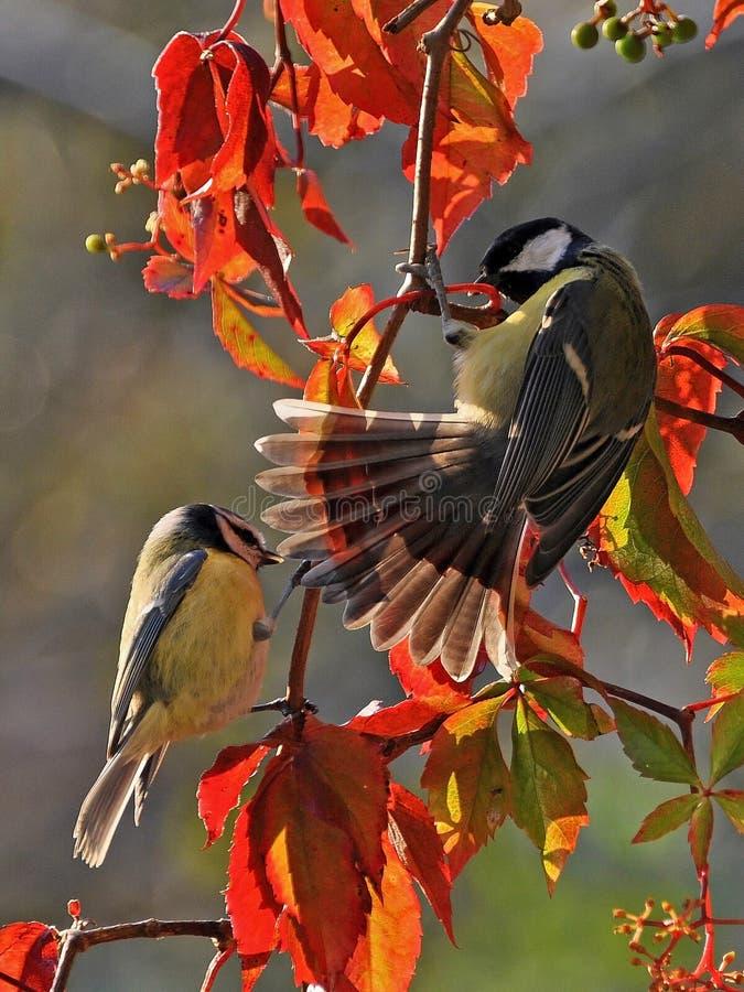 La cinciallegra, il Parus e la cinciarella si siede su un ramo con le foglie di autunno immagini stock libere da diritti