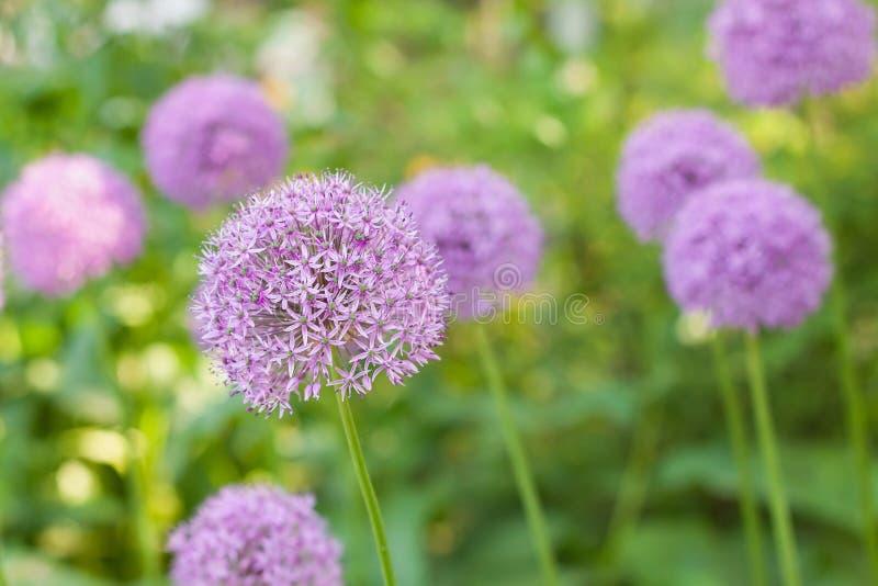 La cipolla fiorisce in primavera il giardino fotografie stock
