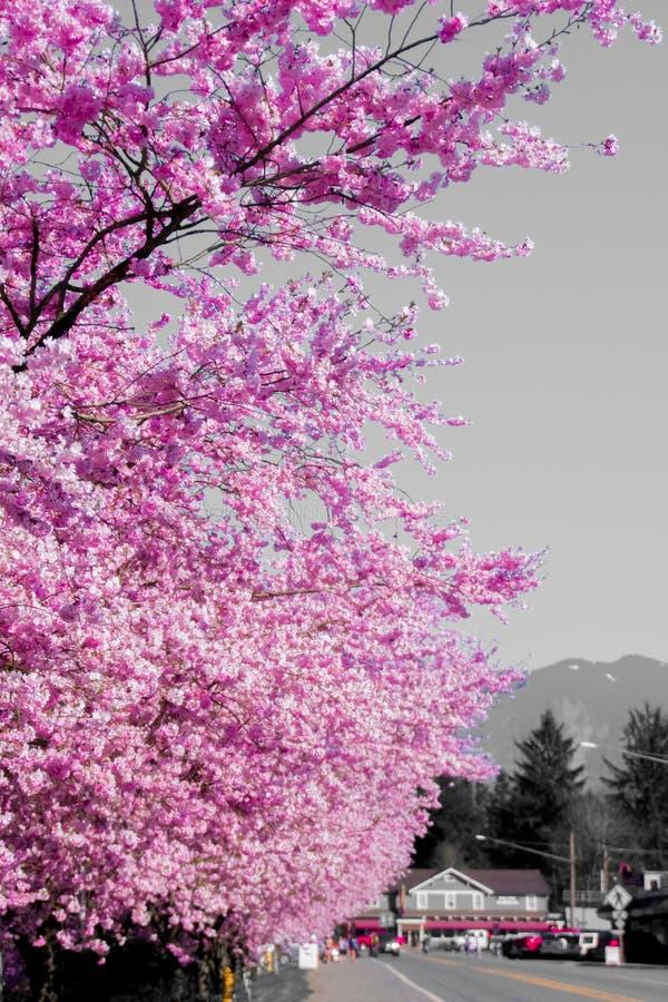 La città della primavera Cherry Blossom On di Washington Covering With Bright Pink della città di caduta un il pomeriggio caldo fotografie stock libere da diritti