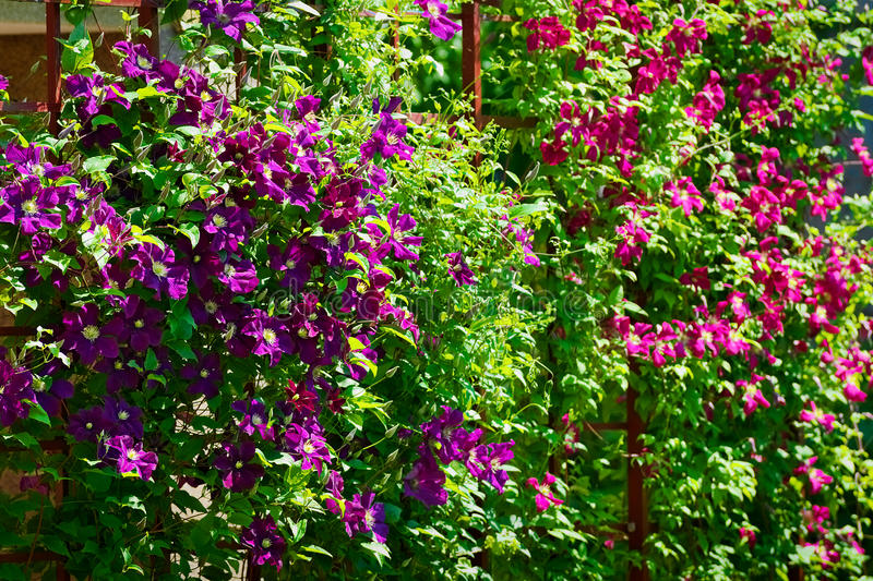 La clématite pourpre fleurit sur le jardin de floraison d'arbuste au printemps photographie stock