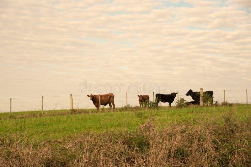 La clôture et les vaches 02 de ferme photographie stock libre de droits