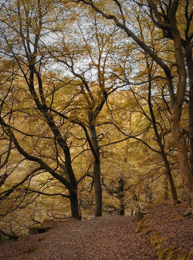 La clairière de région boisée dans la forêt de hêtre d'automne avec de vieux arbres grands et feuilles tombées le long d'une pier photo stock