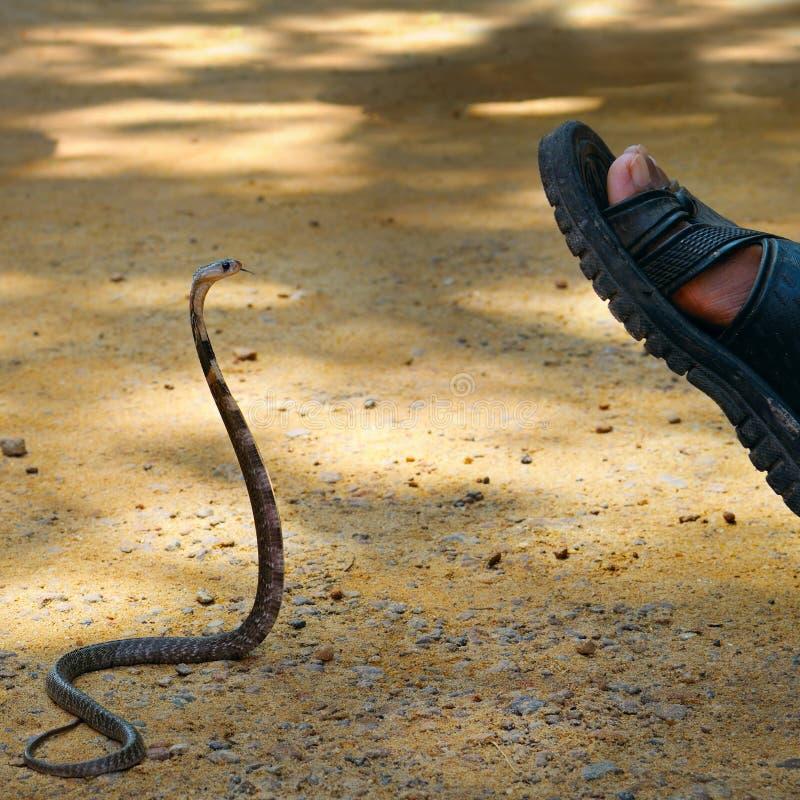 La cobra real ataca al hombre foto de archivo