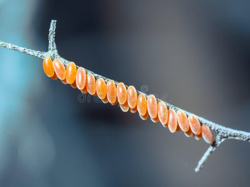 La coccinella arancio eggs sul ramo con fondo vago immagini stock