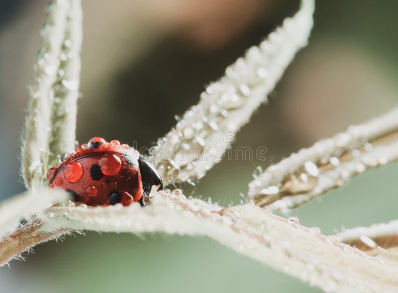 La coccinella rossa sulla foglia verde, coccinella striscia sul gambo della pianta in primavera di estate del giardino immagine stock