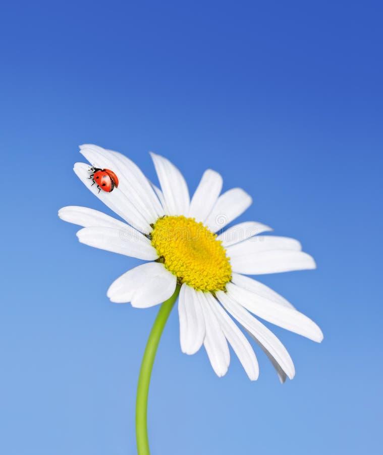 La coccinella toglie dal fiore immagini stock