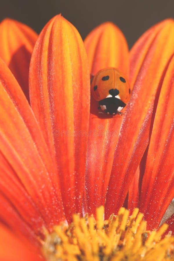 La coccinelle rampe sur le pétale orange images stock