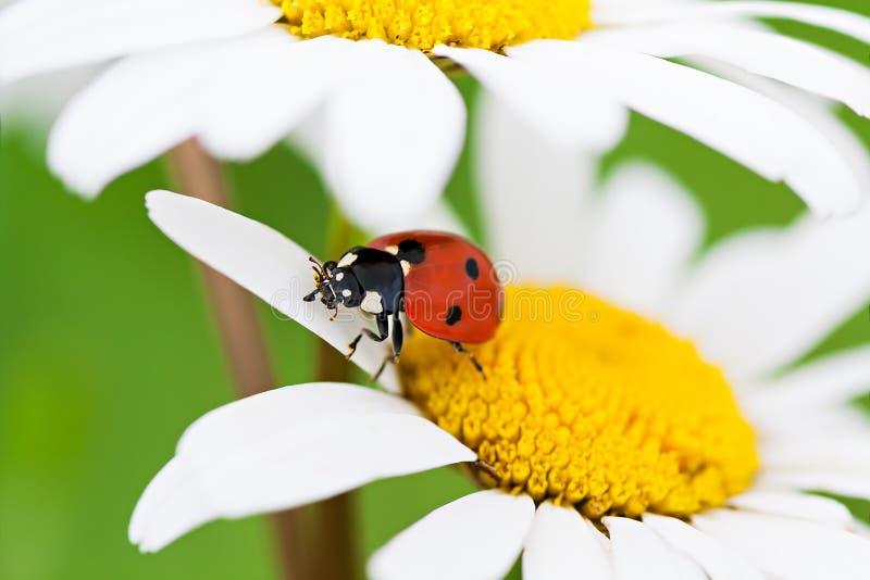 La coccinelle repose sur une fleur de camomille une fin vers le haut de macro images stock