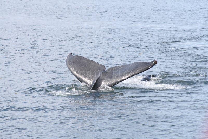 La coda della balena immagine stock libera da diritti