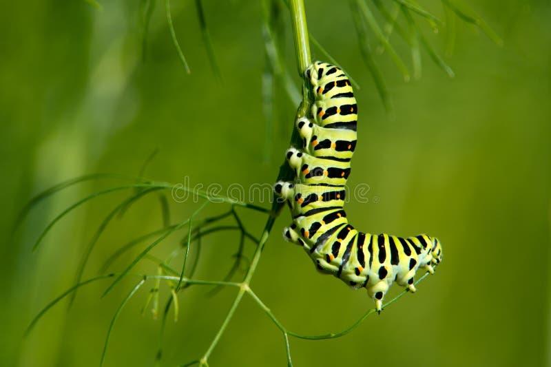 La coda di rondine Caterpillar (machaon di Papilio) immagini stock libere da diritti