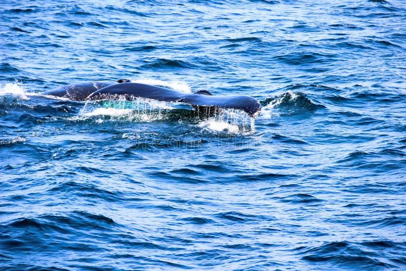 La cola de la ballena con agua cae en un océano azul imágenes de archivo libres de regalías