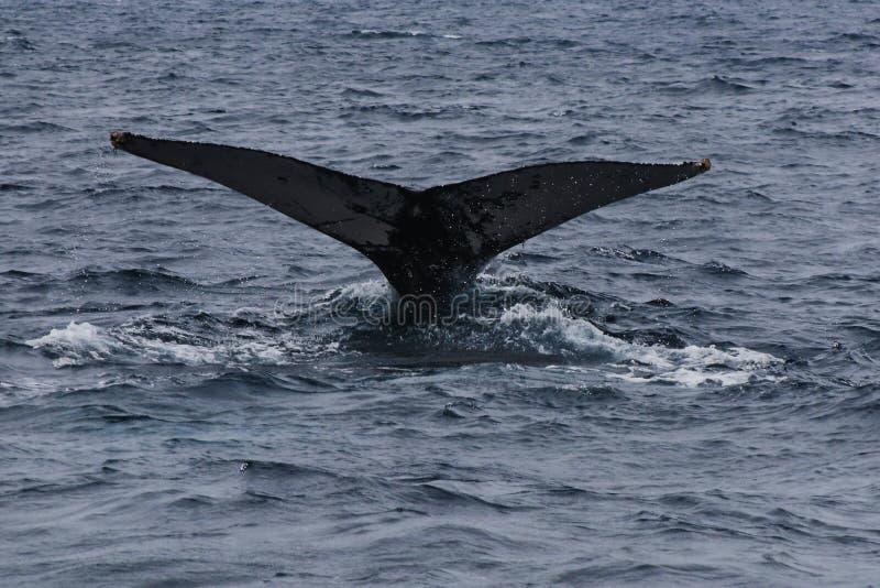 La cola de una ballena jorobada, novaeangliae del Megaptera, salpicando el agua alrededor imagen de archivo libre de regalías
