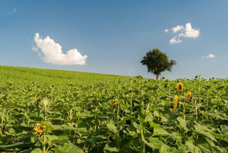 La colina verde con los girasoles cultiva en la región Italia de los marzos imagen de archivo