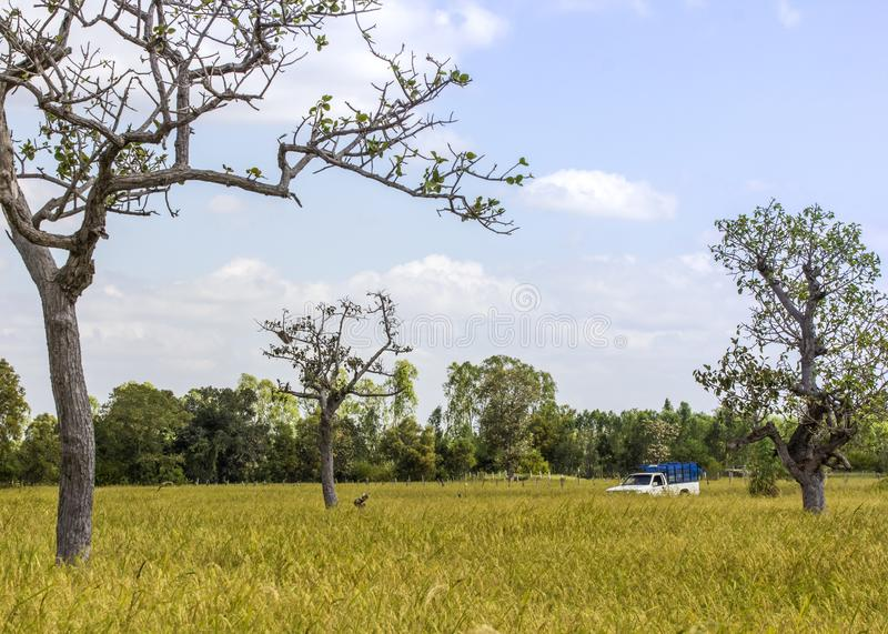 La collecte dans le domaine de riz photos libres de droits