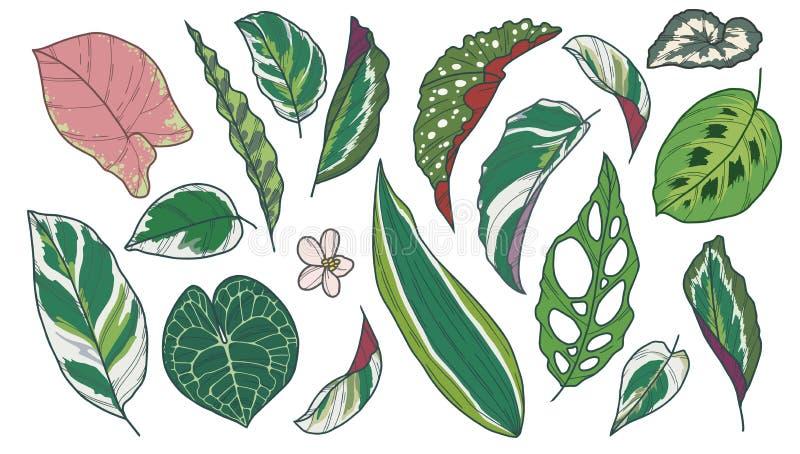 La collection de dessin d'art de vecteur de la plante d'intérieur exotique populaire différente part comme le bégonia, Calathea,  illustration stock