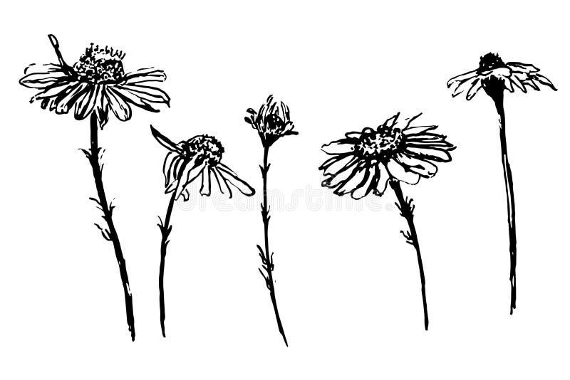 La collection de dessin de fleurs de marguerite a placé l'illustration de croquis illustration libre de droits