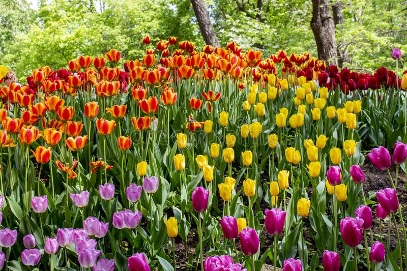 La collina nel parco con i tulipani variopinti delle varietà differenti Decorazione dei parchi dei giardini, fioritura dei tulipa fotografia stock libera da diritti