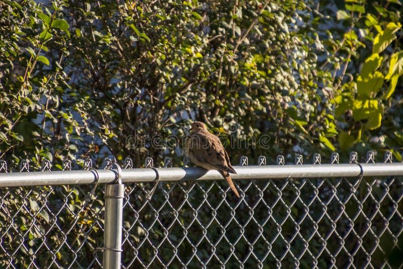 La colomba di dolore si è appollaiata sul recinto del collegamento a catena sulla mattina di autunno fotografia stock libera da diritti