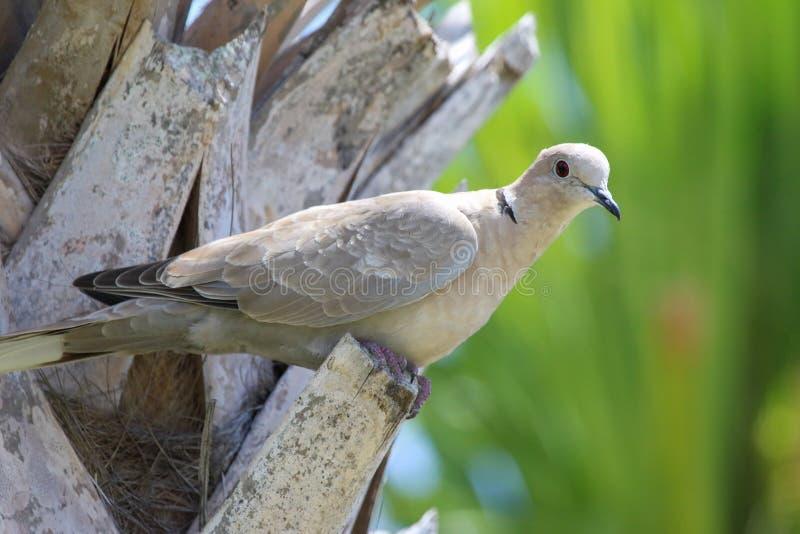 Les colombes - Théophile Gautier La-colombe-%C3%A0-collier-d-eurasion-au-palmier-158094160