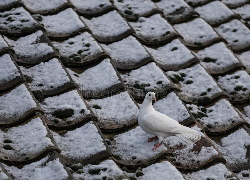 La colombe blanche solitaire vue était perché sur un toit couvert de neige de cottage en hiver photos libres de droits