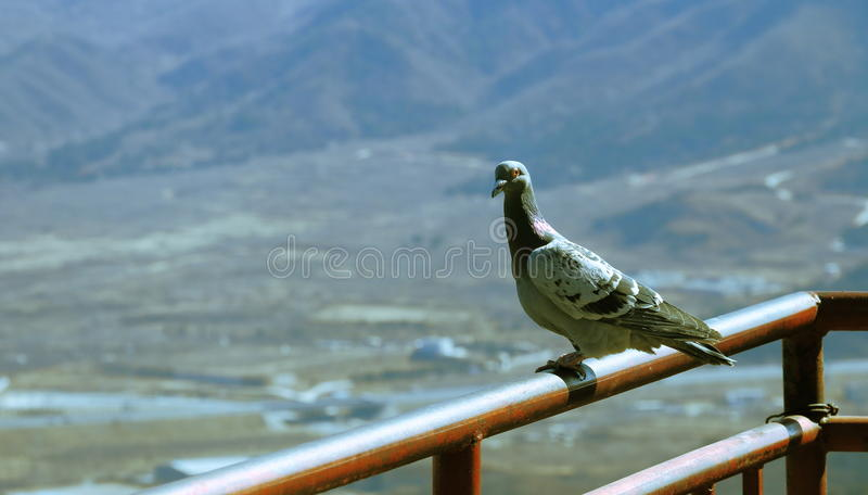 La colombe se tient sur la balustrade photos stock