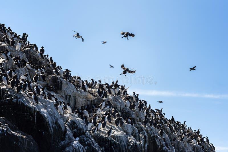La colonia de cormoranes asume el control una cara del acantilado imagen de archivo libre de regalías