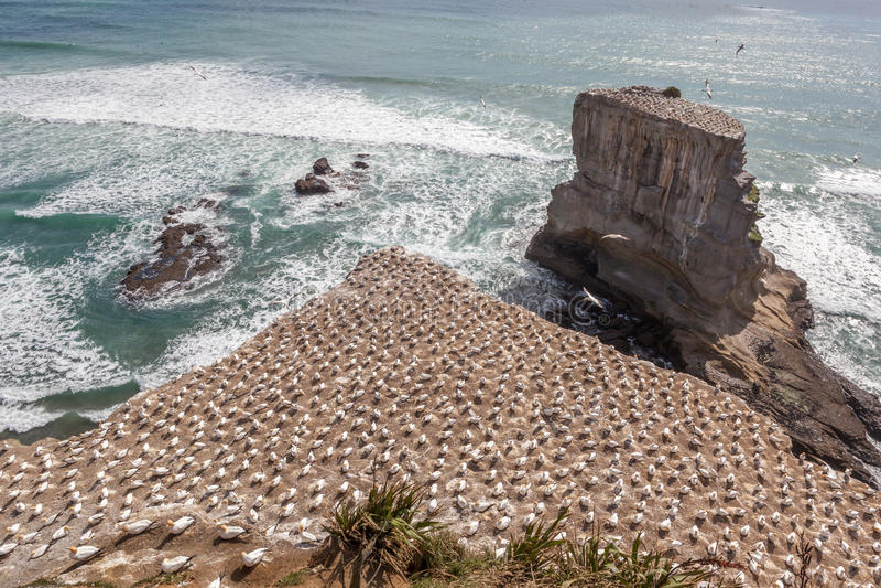 La colonie Australasian de fou de Bassan au Nouvelle-Zélande images libres de droits