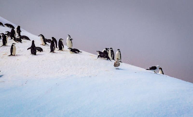La colonie de pingouin d'Adele se prépare à l'emboîtement image stock