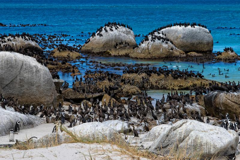 La colonie de pingouins et des oiseaux du cormoran de cap aux rochers échouent, l'Afrique du Sud image libre de droits